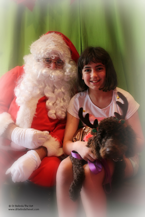 Santa with Daisy, the FIRST Taloodle. She has settled into her home with Bianca. Bianca is 11 years old and has high functioning autism, receptive and expressive language disorders in the severe range, cognitive and intellectual delay and Attention Deficit Hyperactivity Disorder – all of these disorders make every day for her family challenging as all these disorders can present simultaneously.
