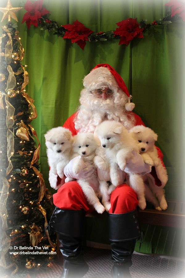 Santa had his arms full meeting these gorgeous Samoyed puppies - they often feature on my instagram account as they are so gorgeous and regular clients of mine.