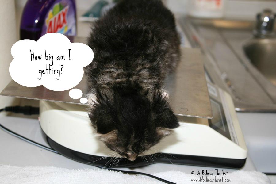 Kitten weight check large
