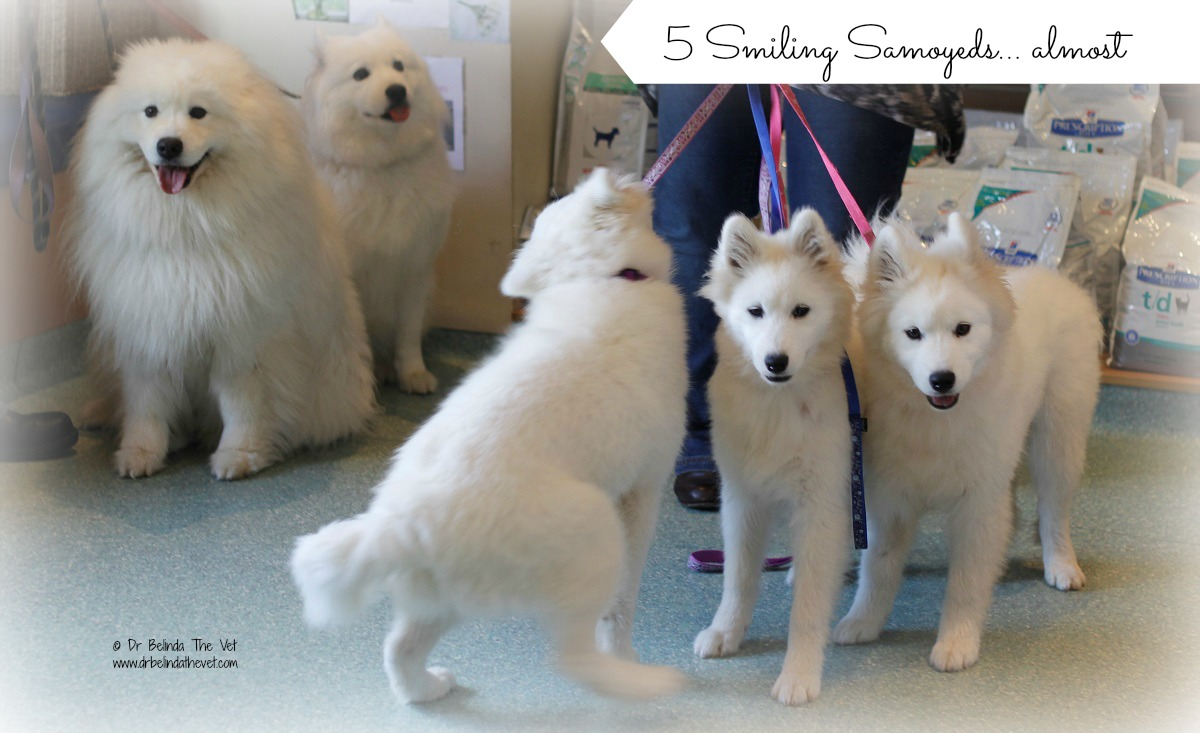 The closest I could get to 5 samoyeds looking at the camera!