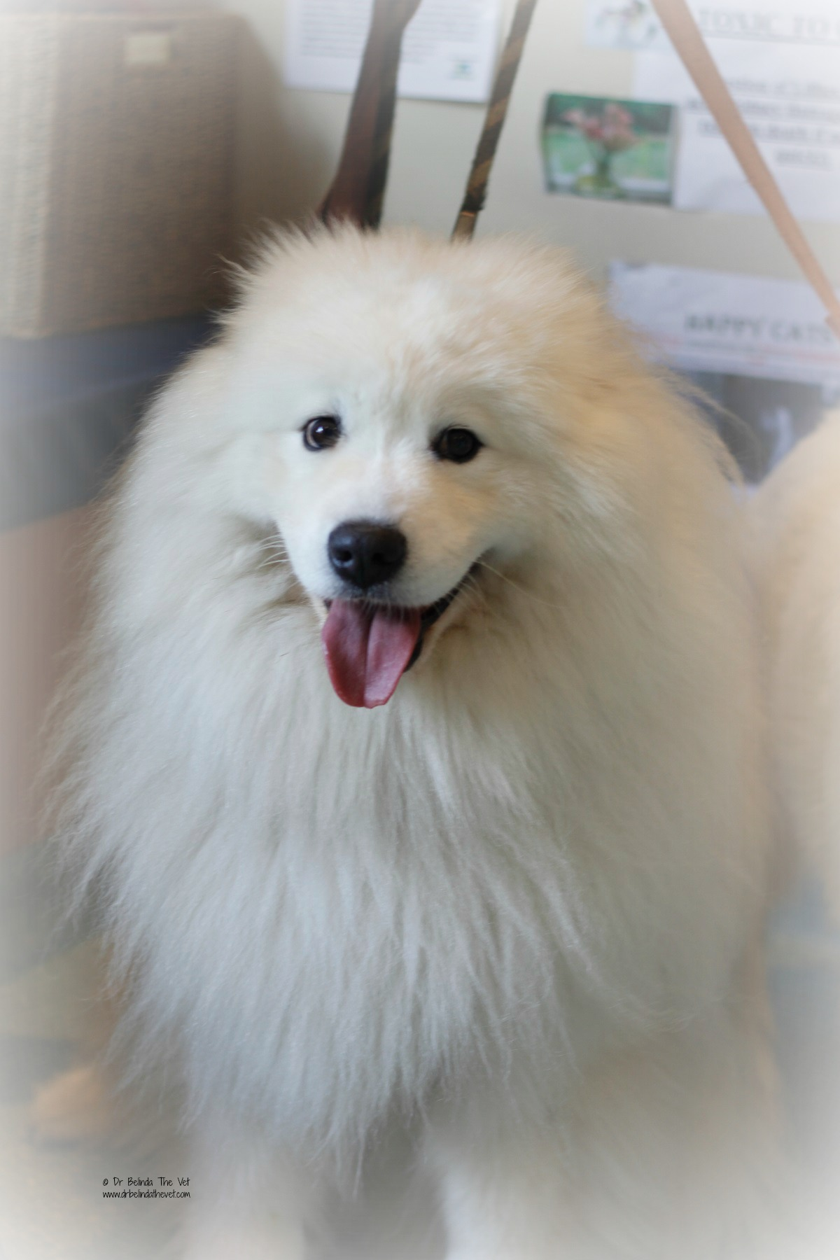 Edmond looks like an adorable Samoyed X Lion
