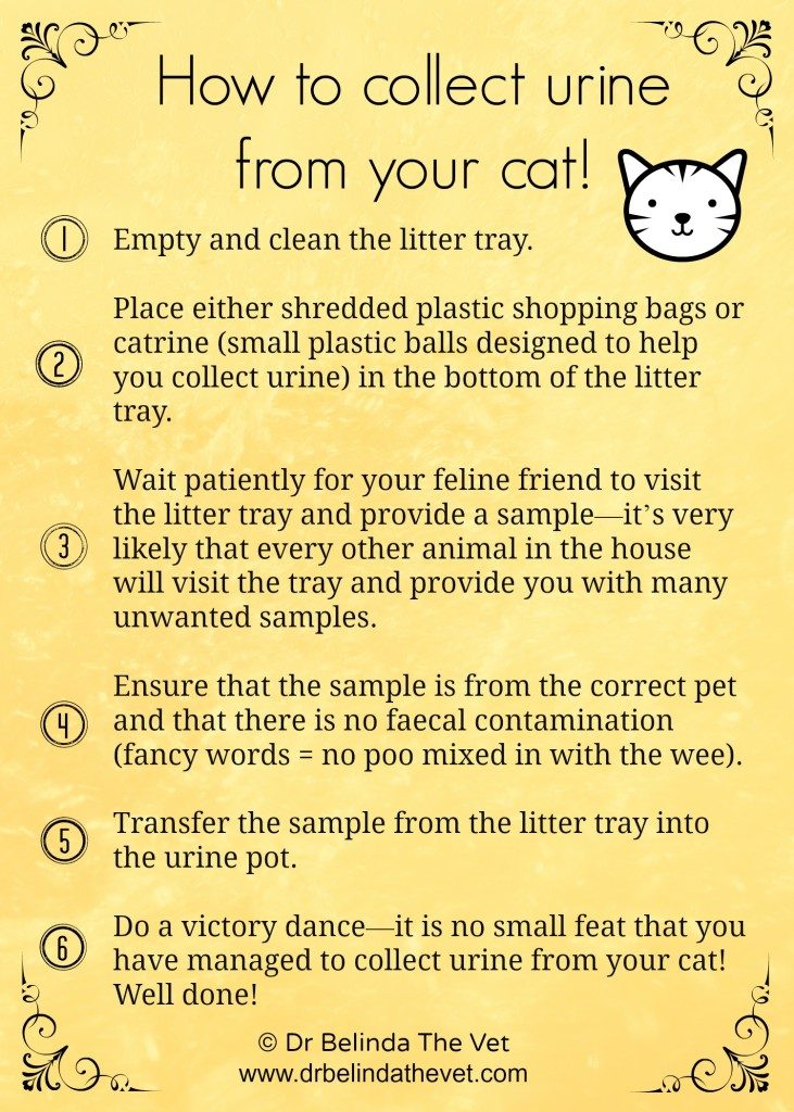 The 6 steps to collecting urine from your cat