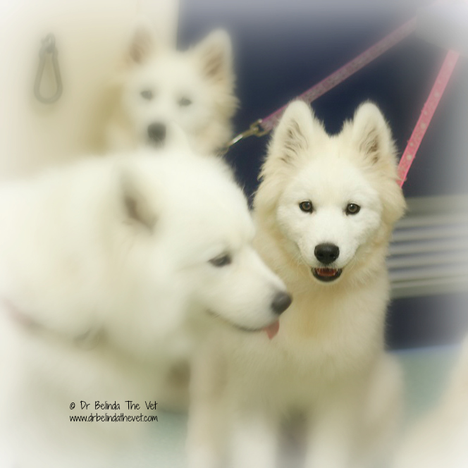 Samoyed puppy in vet consult room
