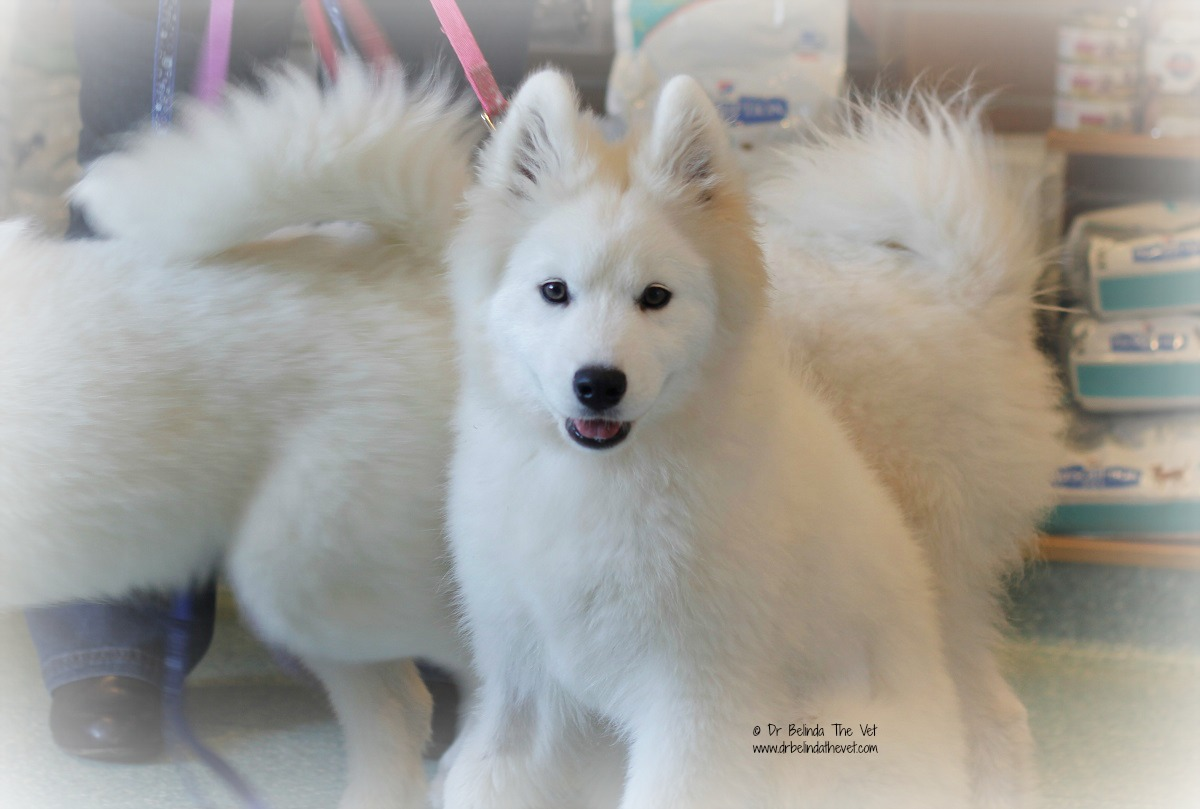 Samoyed puppy in waiting room