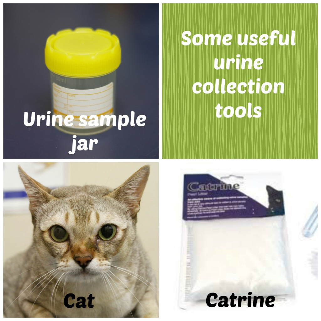 how to get a urine sample from a cat