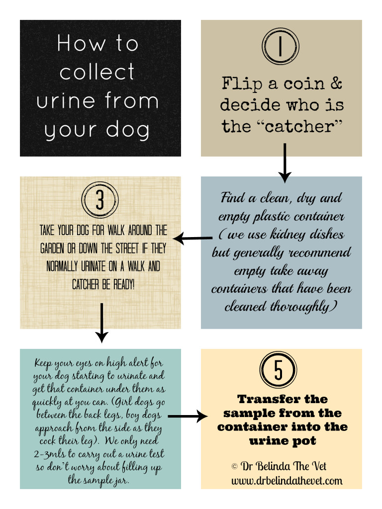 How to collect urine from your dog - Dr Belinda The Vet