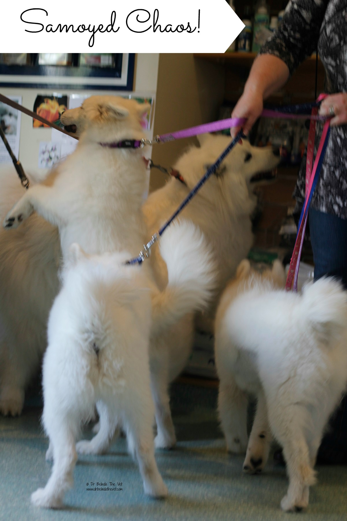 samoyed chaos at the vet