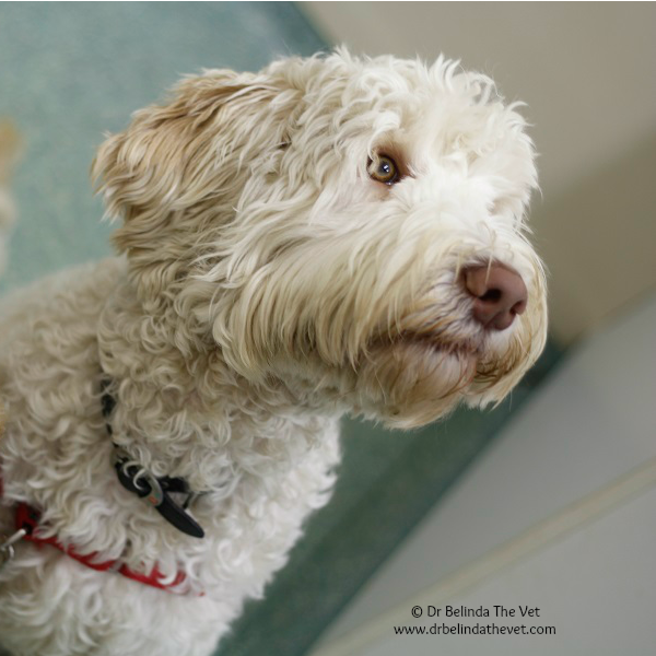 Archie is a Labradoodle with a very special job. He is a Taloodle! Taloodles are therapy & assistance dogs. They do wonderful work in the community and change the lives of those families who are lucky enough to receive one.