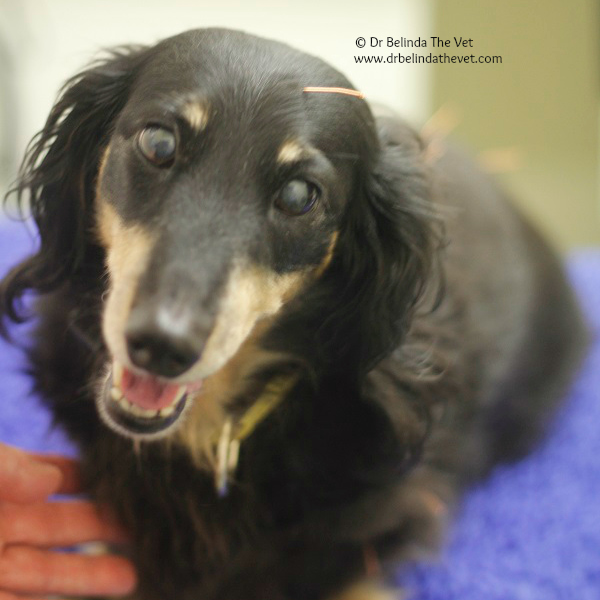 Cindy, the Mini Dachshund is 12 years old and receives acupuncture for arthritis in her elbow and chronic changes in her spine.