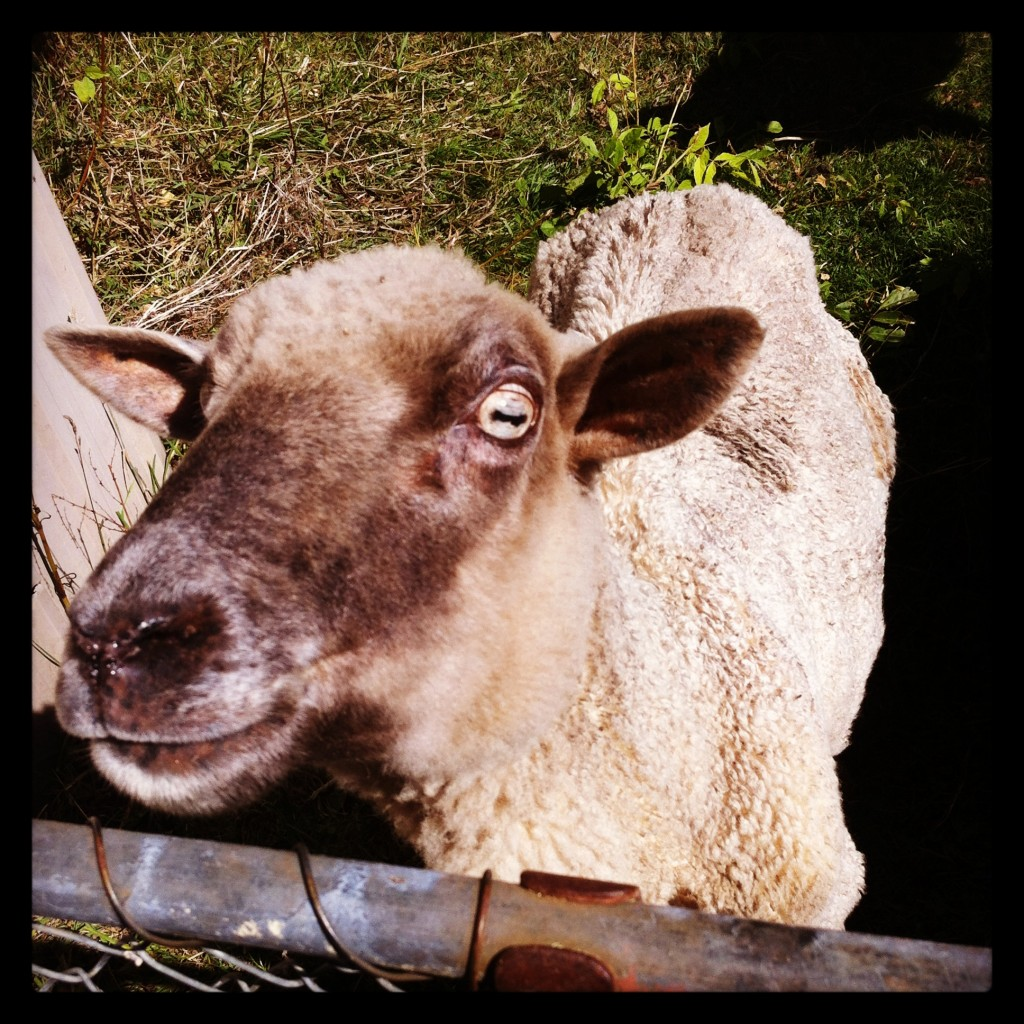 Gorgeous Jemima is the pet sheep on my family's farm. She has been with them for at least 8 years. This sweetheart loves nothing more than a piece of bread!
