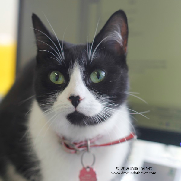 How amazing are Luna's eyes? She is a lovely DSH cat who recently came into the clinic for a vaccination. I'm pleased to report she had a clean bill of health.