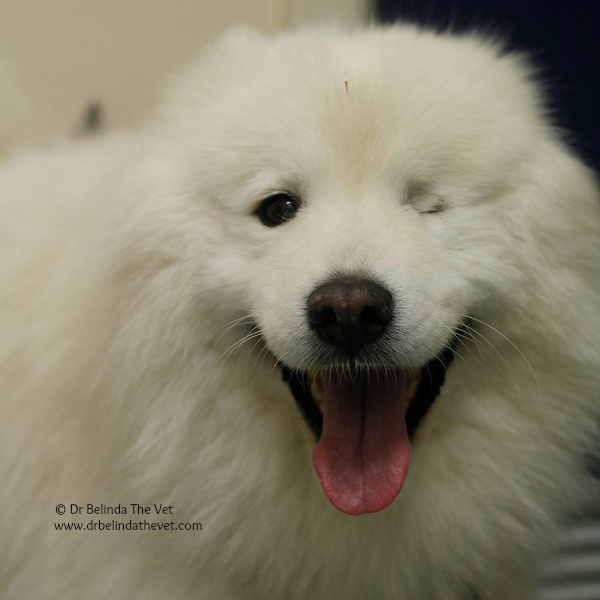 Max is a gorgeous rescue Samoyed. He has recently become a patient of mine but has instantly become a favourite! He's so gentle and such a sweetheart. He was rescued a few years ago and was already missing his eye. He has certainly landed on his feet in his forever family.