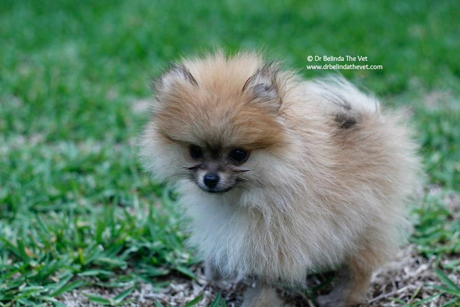 Penny the Pomeranian puppy adventures outside and explores the garden