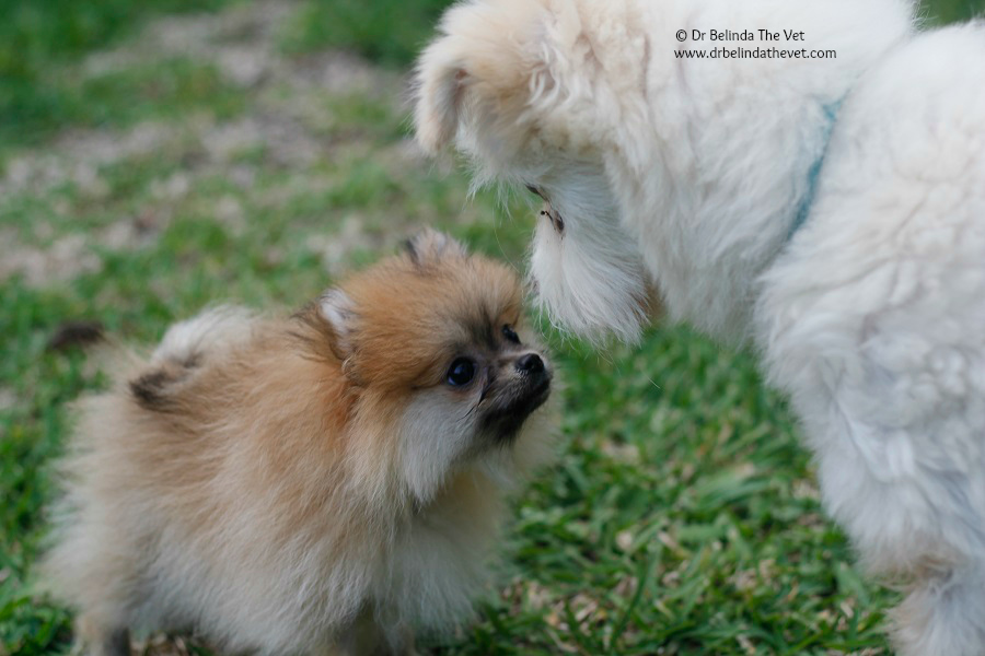 Penny the Pomeranian puppy meets Jack the 16 year old Maltese Terrier X