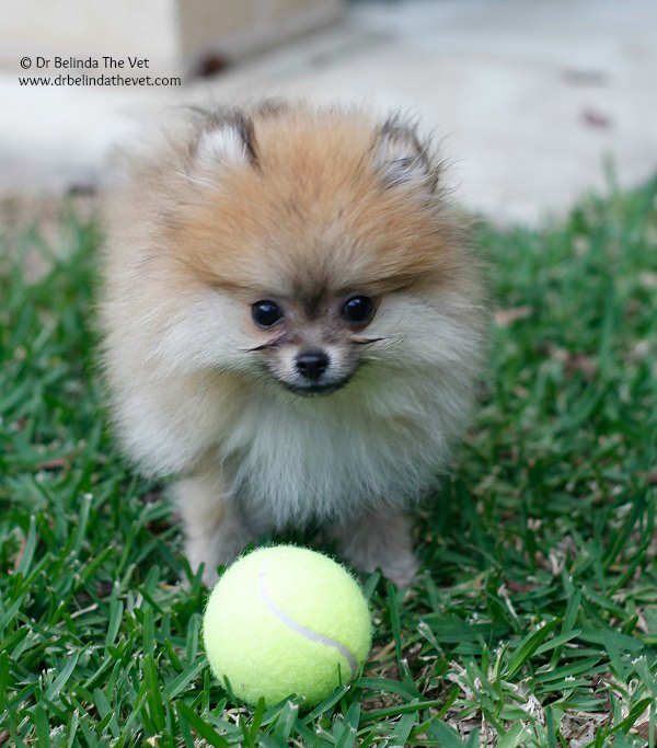 Penny the Pomeranian sizes up the ball. Whilst she was able to pick it up in her mouth (I'm not sure how) she couldn't run with it very far.