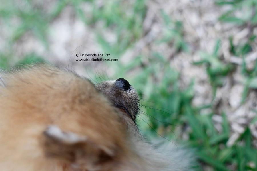 Pomeranian puppy nose! Far too cute!!!