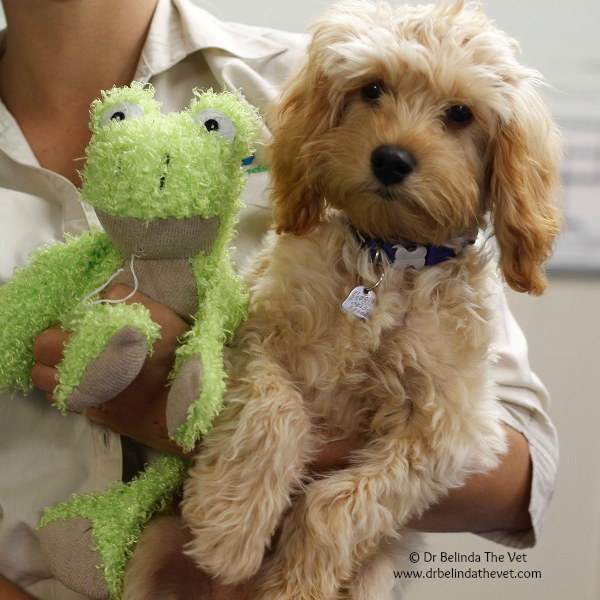 Shaggy the Cavoodle is growing up quickly! He has been into the clinic a few times. Most recently to be desexed. I was lucky enough to see this gorgeous boy at his first vaccinations.