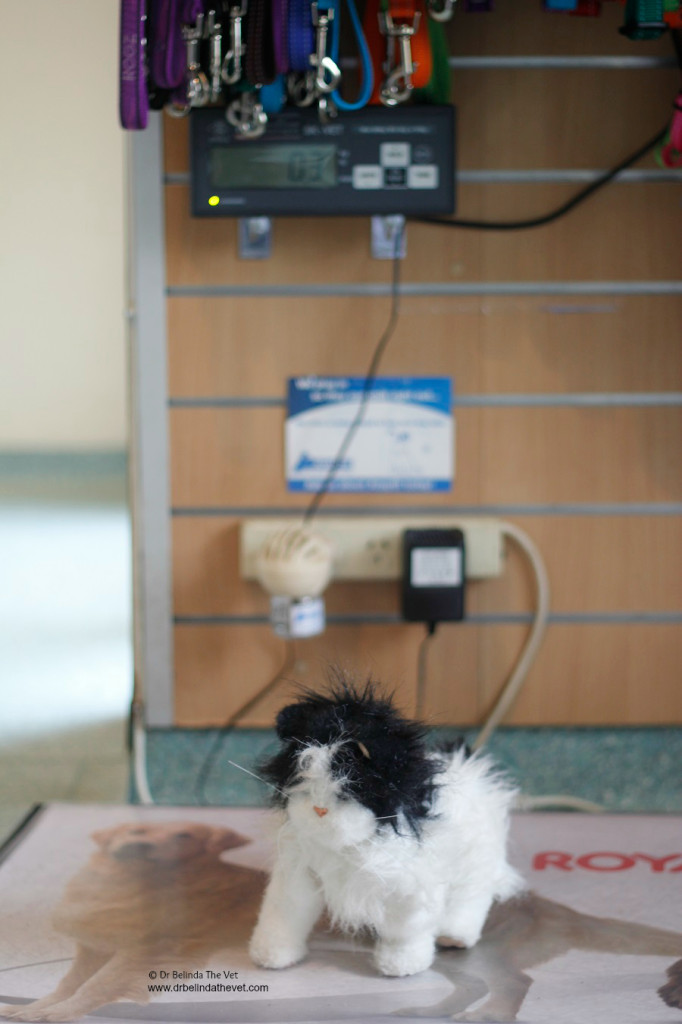 The first part of any visit to a veterinary clinic is a weight check. Even Jesse jumped onto the scales to see how much he weighs.