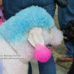 There were many different dogs at this years MPW, including one very vibrant Poodle!