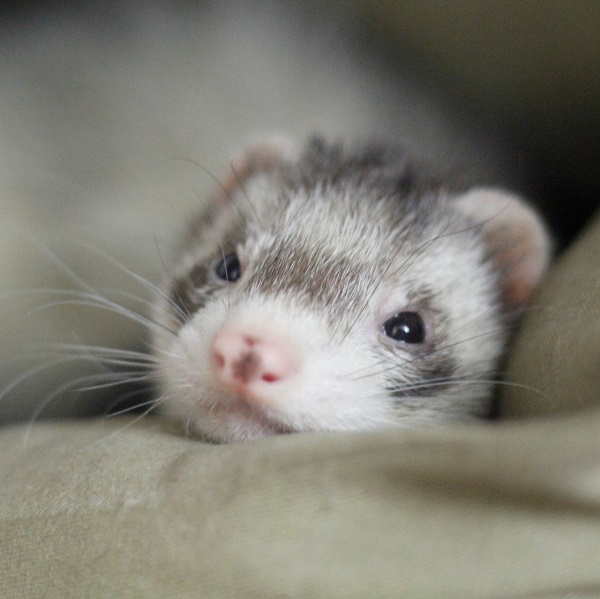 Sleepy, happy ferret -