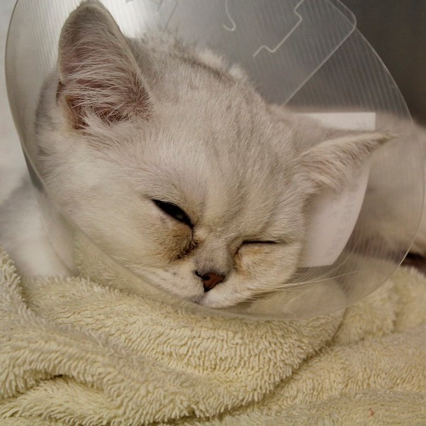 Sleeping with squished cheeks in a cone of shame - perfection!