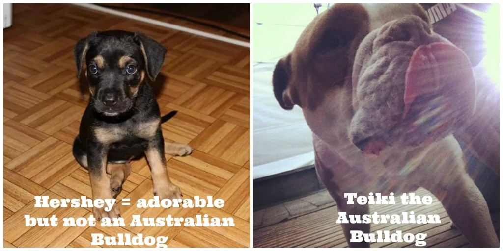 Hershey is not an Australian Bulldog