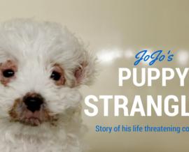 Puppy Strangles (Juvenile Cellulitis) – JoJo's story