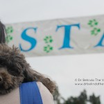 Zoe, the gorgeous poodle, lines up at the start of the RSPCA Million Paws Walk in Sydney